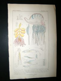 Cuvier C1835 Antique Hand Col Print. Sealife #19